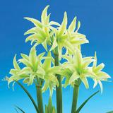 Amaryllis - Evergreen Miniature - Wholesale Bulk bag (3 bulbs/bag)